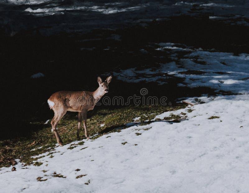 Beaux cerfs communs dans un domaine couvert par neige photographie stock