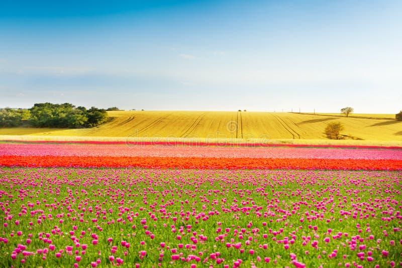 Beaux champs colorés de tulipe pendant le jour ensoleillé photos stock