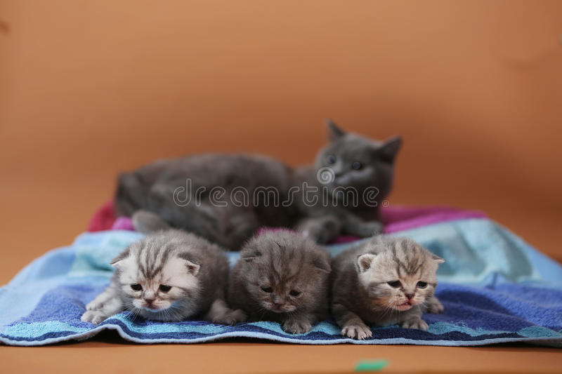 Beaux chatons des Anglais Shorthair photographie stock