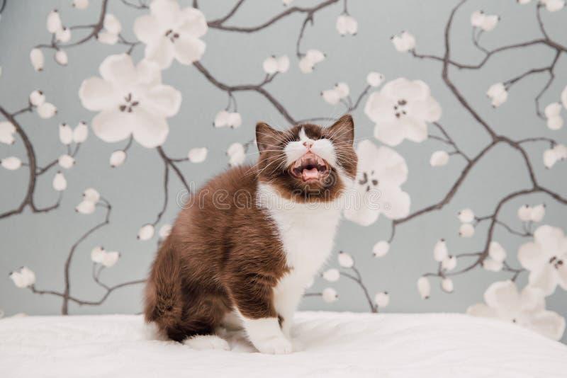 Beaux chatons des Anglais Shorthair photo libre de droits