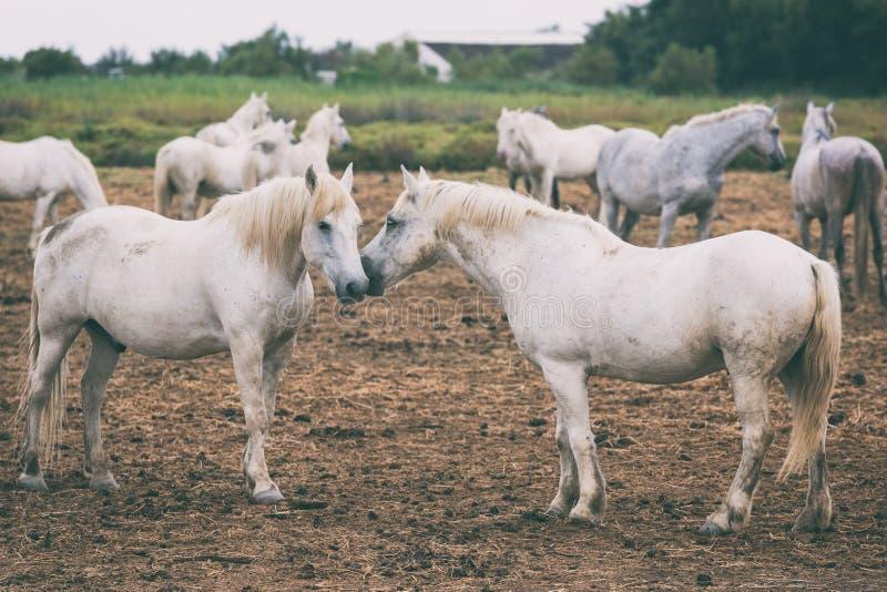 Beaux chevaux blancs ou gris-clair de camargue à la ferme, Camargue, le Bouches-du-Rhône, France image stock