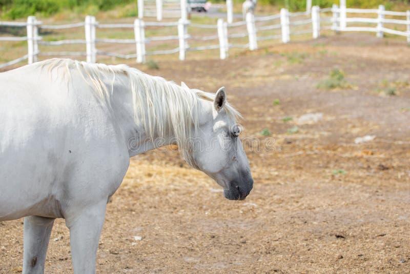 Beaux chevaux de pur sang marchant et frôlant au corral de ferme Horizontal rural idyllique photo libre de droits