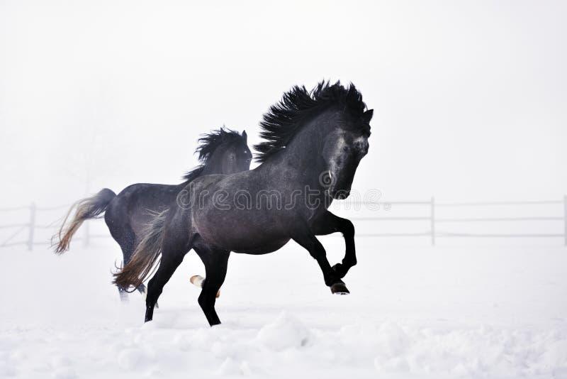 Download Beaux Chevaux Fonctionnant En Hiver Photo stock - Image du cheval, domestique: 56478972