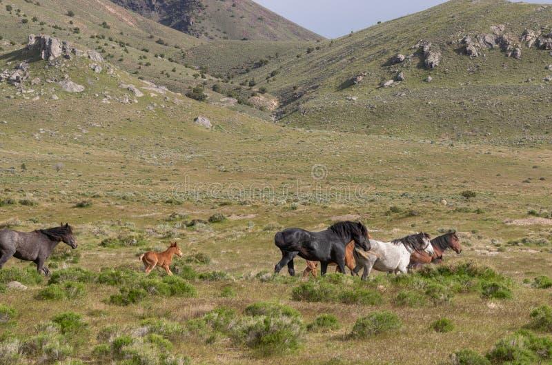 Beaux chevaux sauvages en Utah images stock