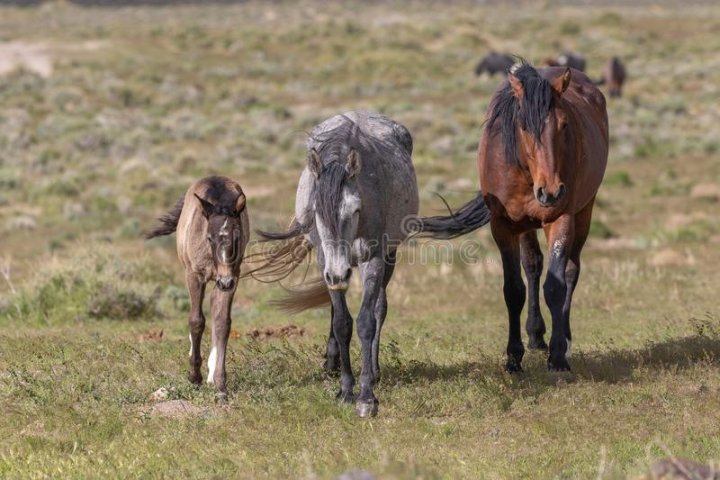 Beaux chevaux sauvages en Utah photo stock