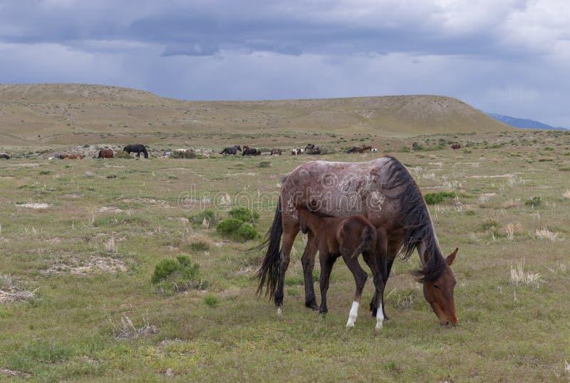 Beaux chevaux sauvages en Utah image libre de droits