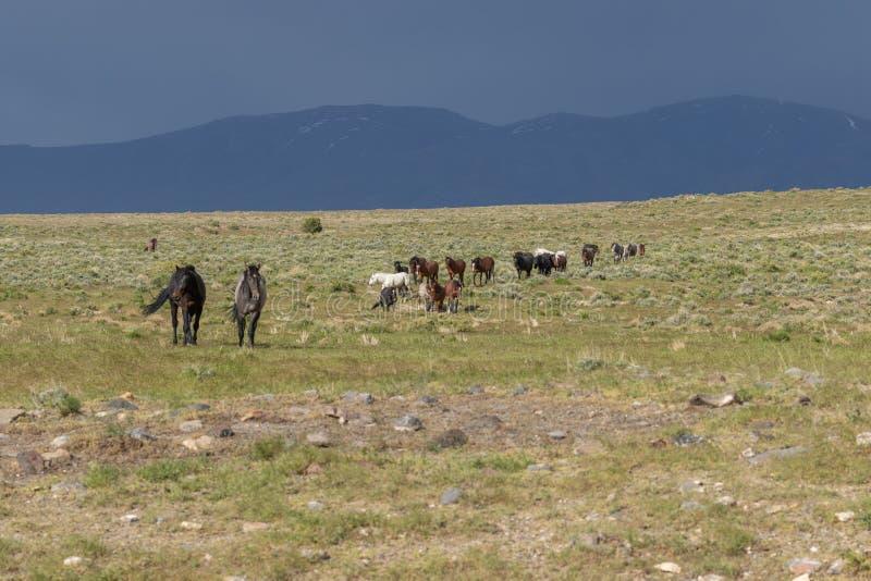 Beaux chevaux sauvages en Utah photos stock