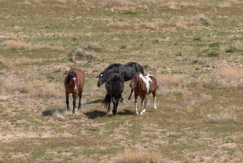 Beaux chevaux sauvages en Utah photographie stock