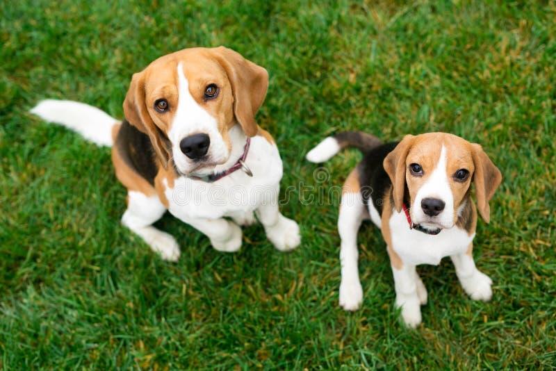 Beaux chiens de briquet Amis mignons photo libre de droits
