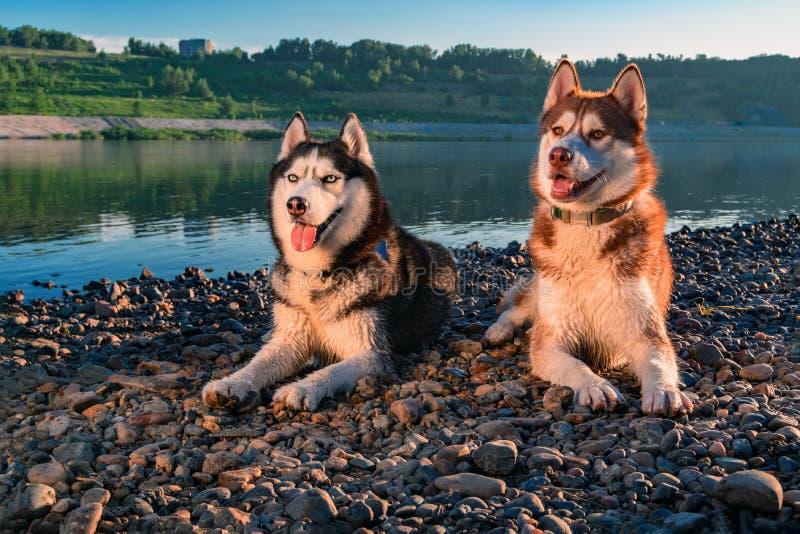 Beaux chiens de chiens de traîneau sibériens du portrait deux Chiens enroués heureux mignons égalisant le portrait sur le fond de photographie stock libre de droits