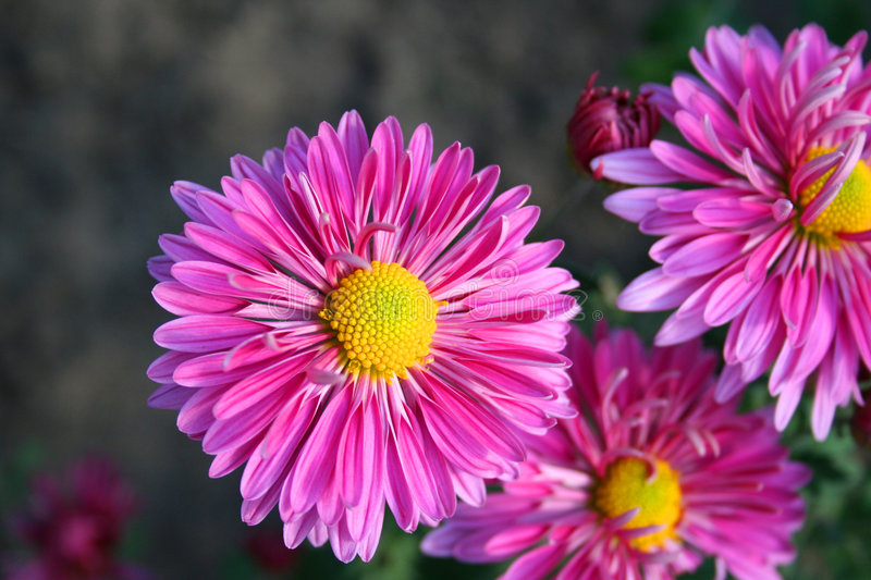 Beaux chrysanthemas images stock