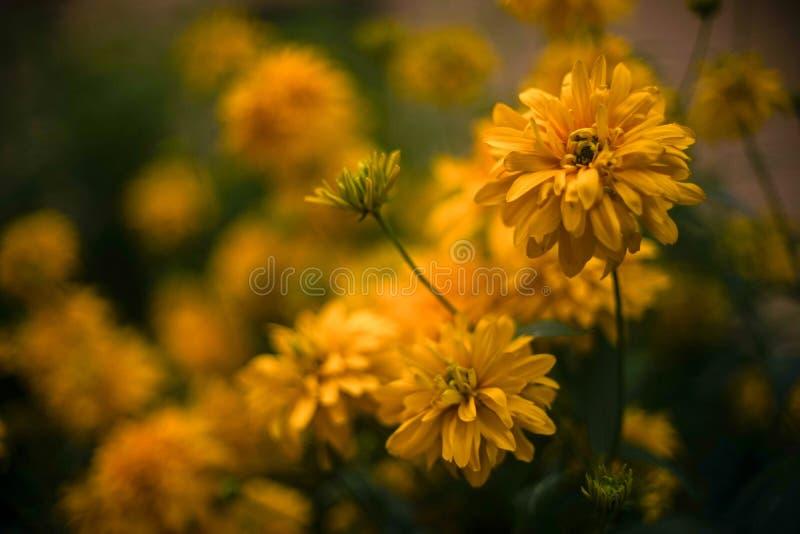 Beaux chrysanthemums jaunes photographie stock