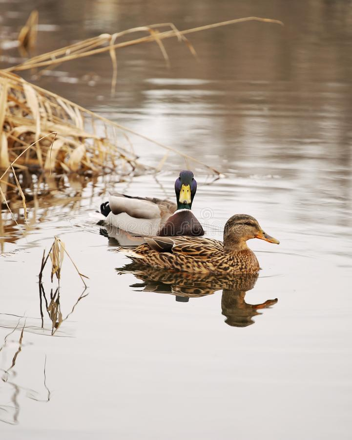 Beaux couples de canard sur une natation de lac images libres de droits