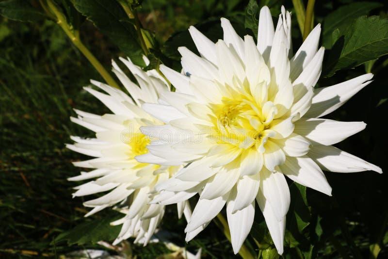 Beaux dahlias Dahlias de fleurs en parc ou jardin photo libre de droits