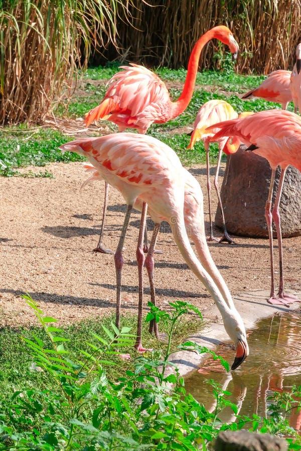 Beaux flamants dans le jardin zoologique images libres de droits