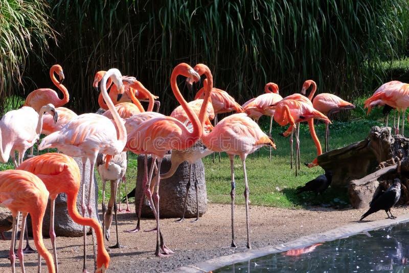 Beaux flamants dans le jardin zoologique photographie stock
