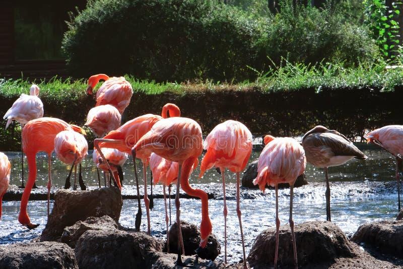 Beaux flamants dans le jardin zoologique photos stock