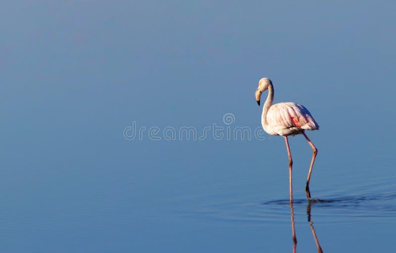 Beaux flamants marchant autour de la lagune et recherchant le foo illustration de vecteur