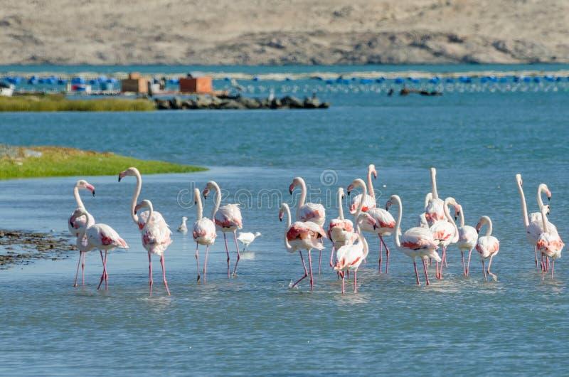 Beaux flamants roses se reposant et alimentant dans l'eau de la lagune sur la péninsule de Luderitz, Namibie, Afrique méridionale photos stock
