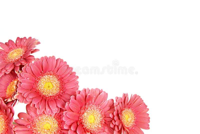 Download Beaux gerberas photo stock. Image du fleurs, blanc, élégance - 45359316