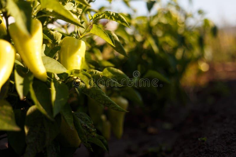 Beaux grands poivrons doux croissants photographie stock libre de droits