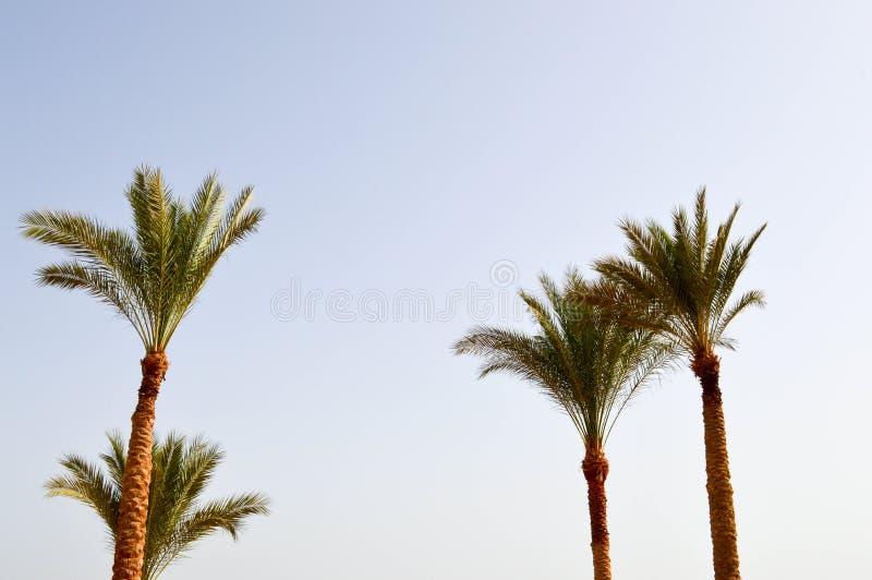 Beaux hauts palmiers du sud tropicaux verts luxuriants avec les branches et les feuilles luxuriantes contre le ciel bleu Le fond photos stock