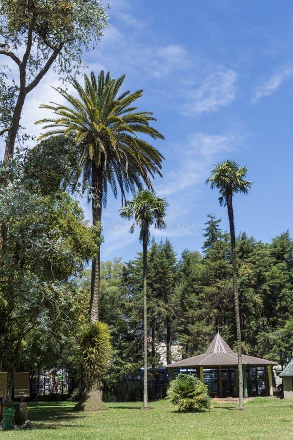 Beaux hauts palmiers verts au parc images stock