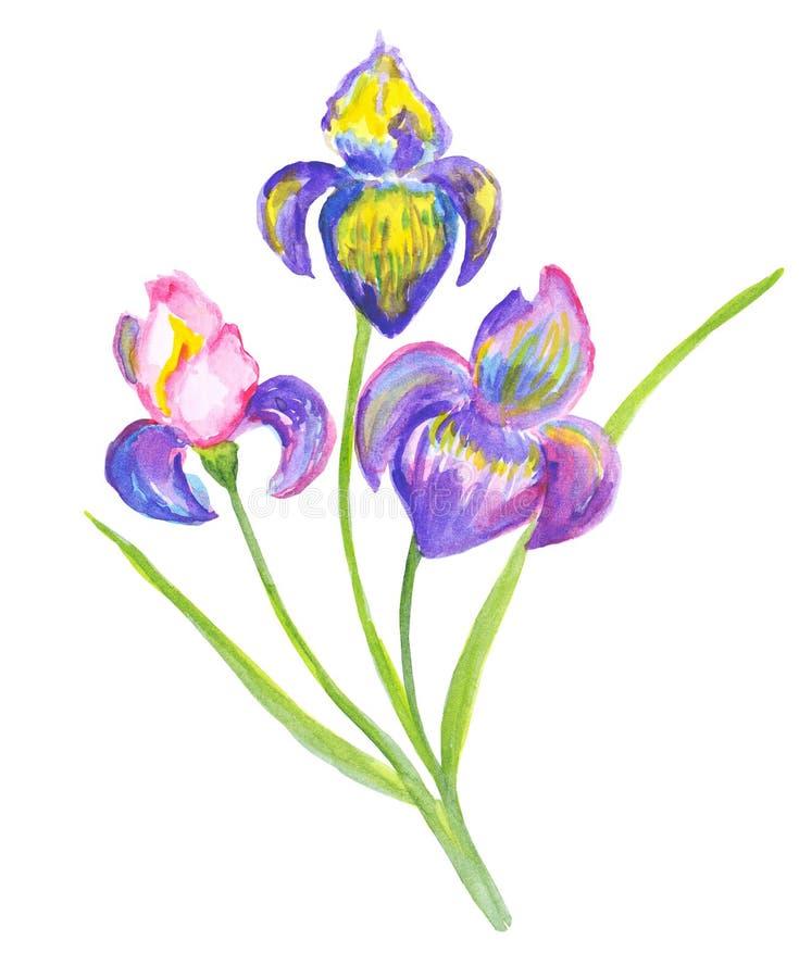 Beaux iris d'aquarelle illustration libre de droits