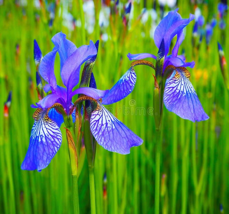 Beaux iris jaunes bleus Fleurs sur un champ vert Fond d'été de ressort image stock
