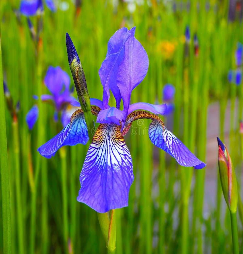 Beaux iris jaunes bleus Fleurs sur un champ vert Fond d'été de ressort photographie stock libre de droits
