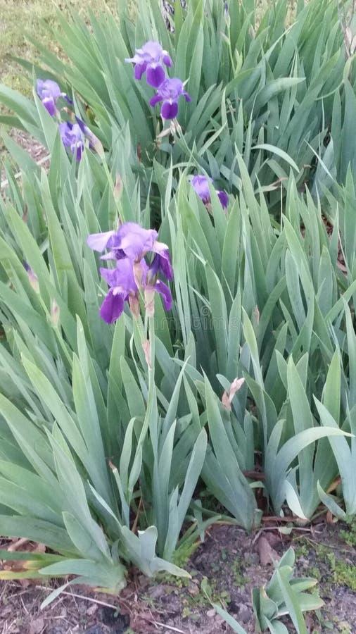 Beaux iris pourpres photos libres de droits