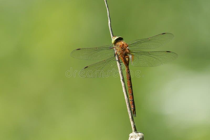 Beaux isoceles de Dragonfly Anaciaeschna de colporteur de la Norfolk étant perché sur un jonc images stock