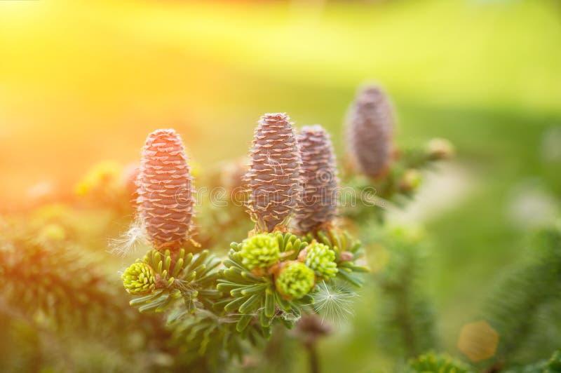 Beaux jeunes cônes du cèdre sibérien sur le fond des branches au printemps Copiez l'espace Foyer s?lectif images libres de droits