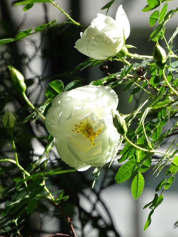 Beaux jours du soleil de fleurs photo libre de droits