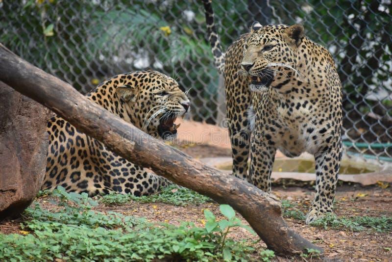 Beaux léopards se reposant et combattant photographie stock libre de droits