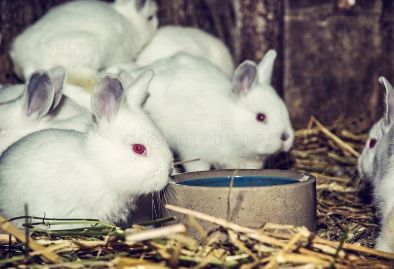 Beaux lapins blancs, filtre rouge photo stock