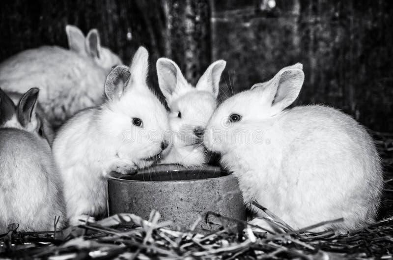 Beaux lapins blancs, grandes oreilles, sans couleur image stock