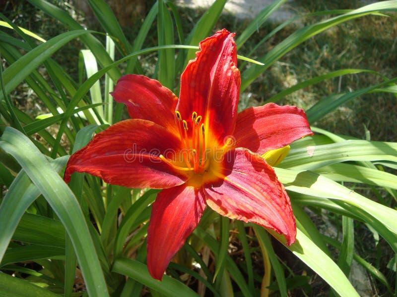 Beaux lis rouges lumineux de floraison parfum?s frais dans le jardin, pendant l'?t? dans le macro de jardin image stock