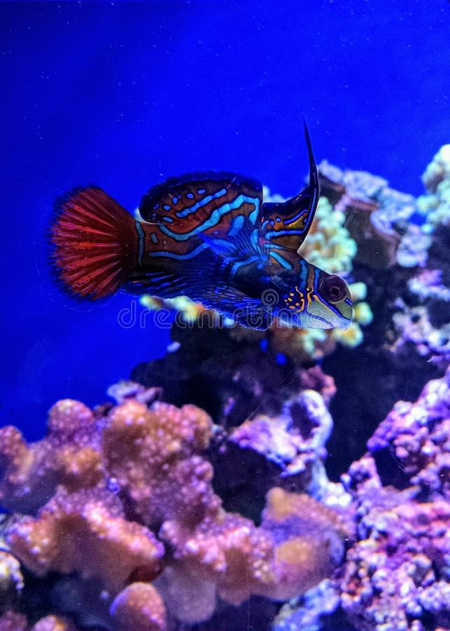 Beaux mandarinfish nageant dans un aquarium photo stock