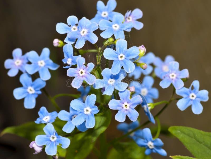Beaux myosotis des marais de fleurs photographie stock
