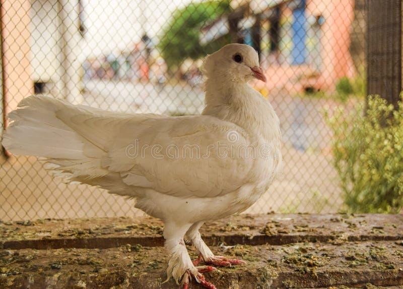Beaux oiseaux mignons blancs d'amour de la Reine de pigeon image stock