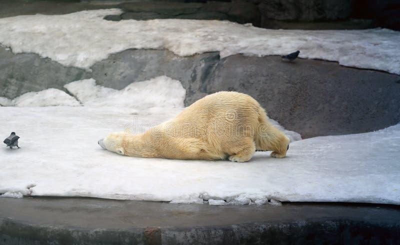 Beaux ours blancs photos libres de droits