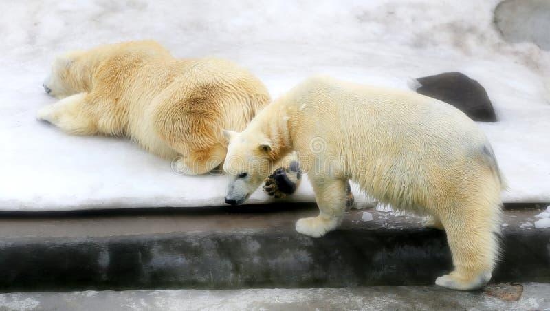 Beaux ours blancs photo libre de droits