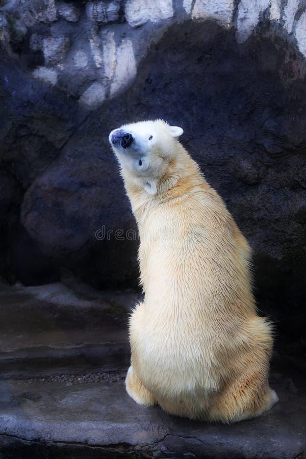 Beaux ours blancs images libres de droits