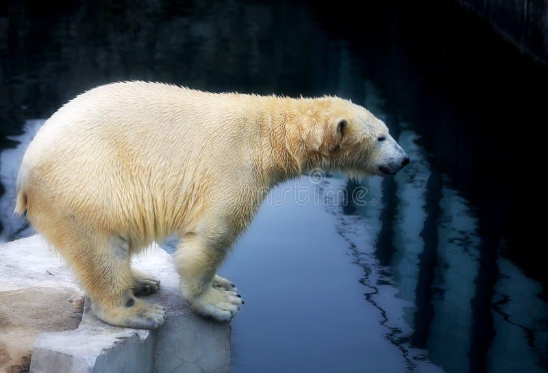 Beaux ours blancs photographie stock libre de droits