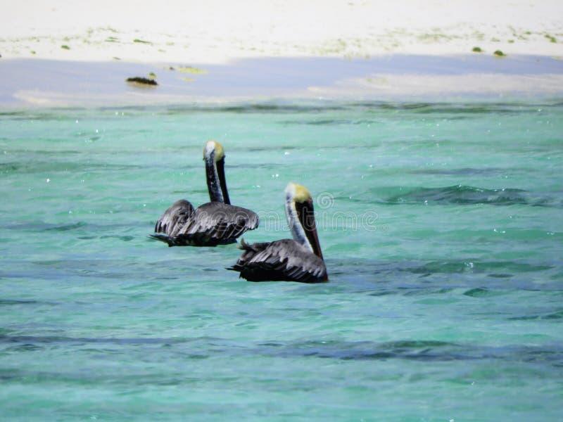 Beaux pélicans en mer des Caraïbes photographie stock