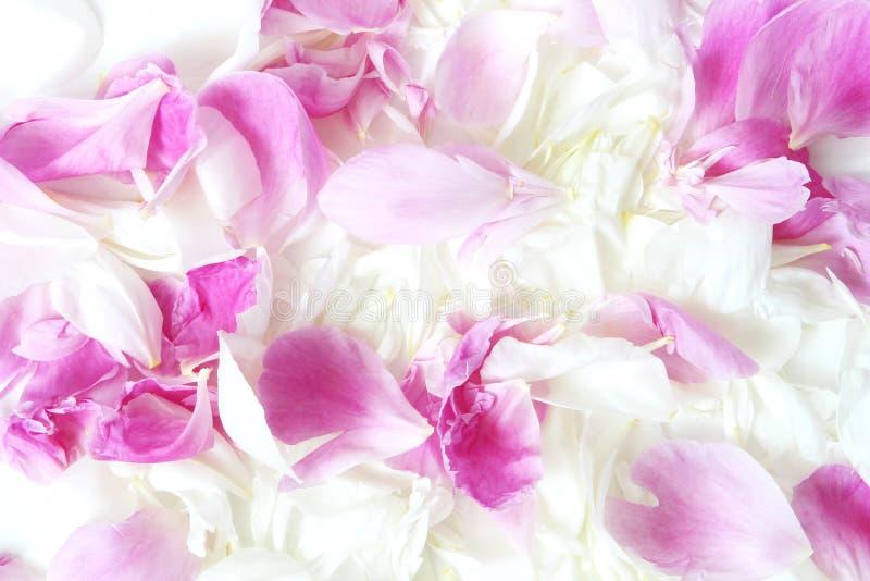 Beaux pétales roses et blancs de rose et de pivoine Texture florale Mariage ou fond de jour de valentines Configuration plate, vu photos stock