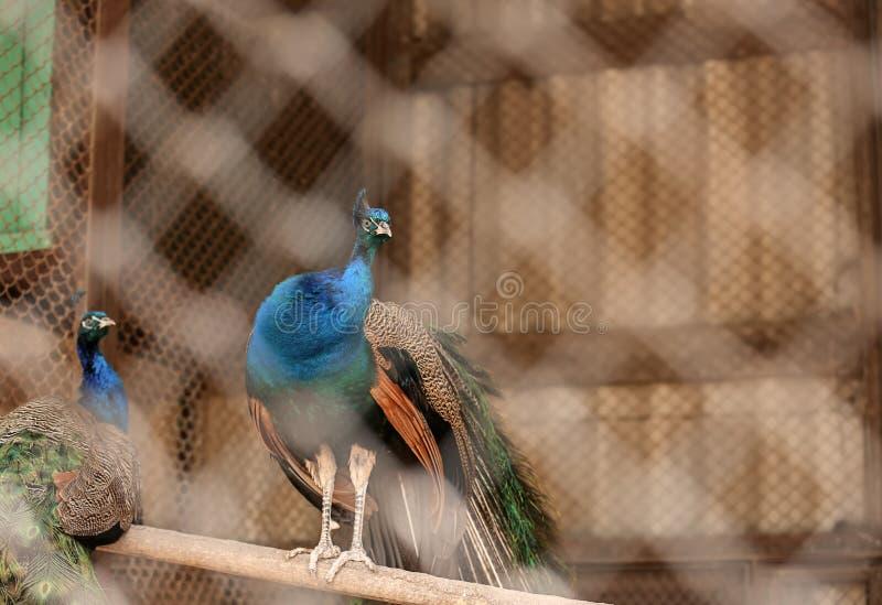 Beaux paons dans le jardin zoologique photo stock