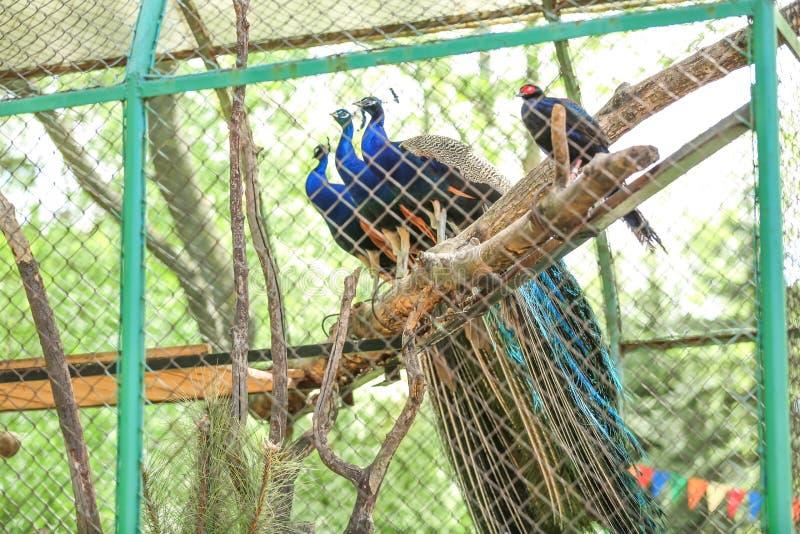 Beaux paons dans le jardin zoologique image libre de droits