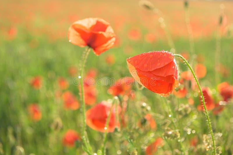 Beaux pavots brillants rouges après un orage baisses de pluie sur les fleurs images libres de droits
